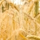 Wheat Swaying in the Wind. - VideoHive Item for Sale