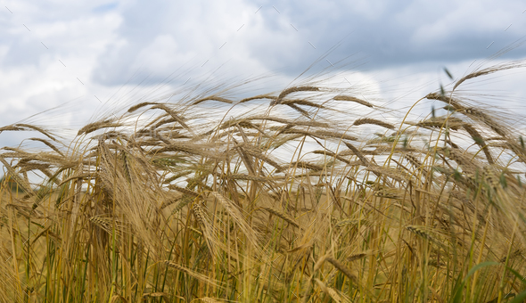 ripe wheat ears - Stock Photo - Images