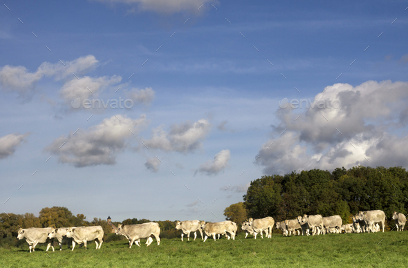 Cows in a river floodplain - Stock Photo - Images