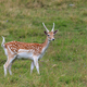 fallow deer (Dama dama) in grass. Parc de Merlet, France - PhotoDune Item for Sale