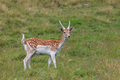 fallow deer (Dama dama) in grass. Parc de Merlet, France - PhotoDune Item for Sale