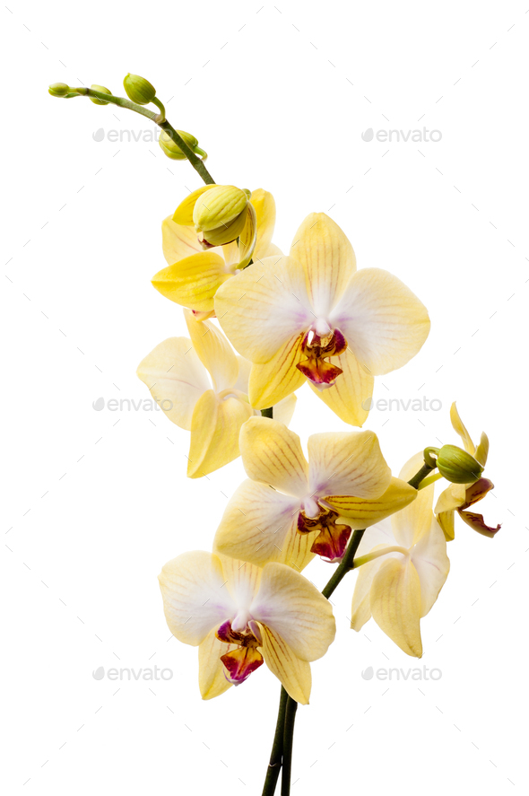 Yellow orchid - Stock Photo - Images