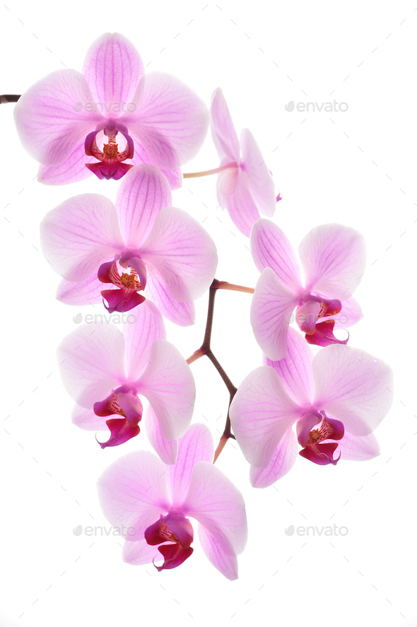 Pink orchid - Stock Photo - Images