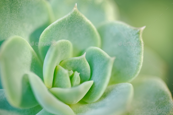 Sempervivum close-up shot - Stock Photo - Images