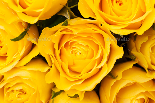 Yellow roses background - Stock Photo - Images
