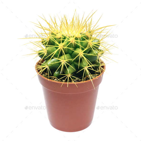 Yellow cactus in flowerpot - Stock Photo - Images