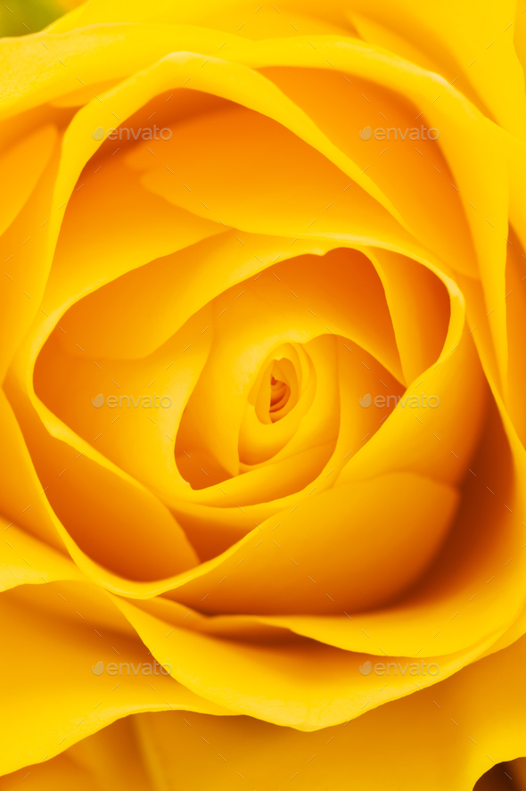 Yellow rose background - Stock Photo - Images