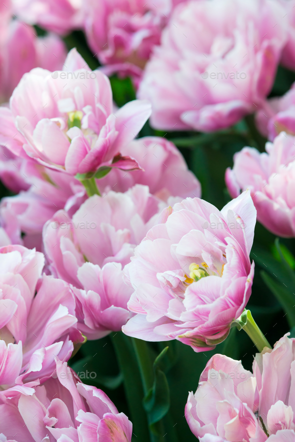 Tulips on flowerbed - Stock Photo - Images