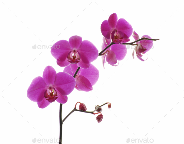 Pink orchid isolated on a white background - Stock Photo - Images