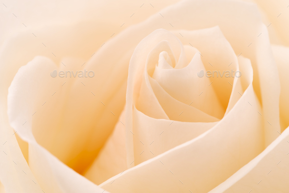 White rose - Stock Photo - Images