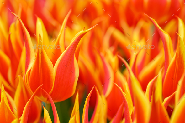Yellow-red tulips - Stock Photo - Images