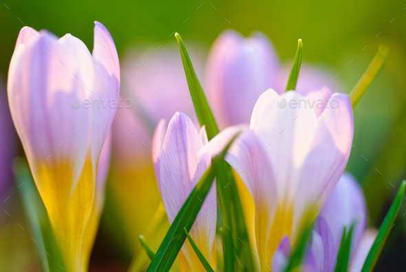 Blue crocus background - Stock Photo - Images