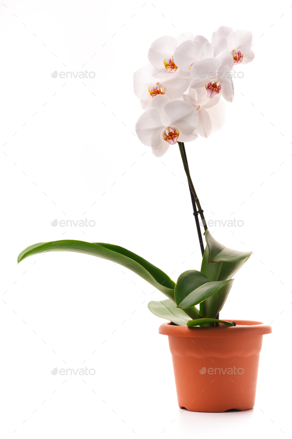 White orchid in a flowerpot - Stock Photo - Images