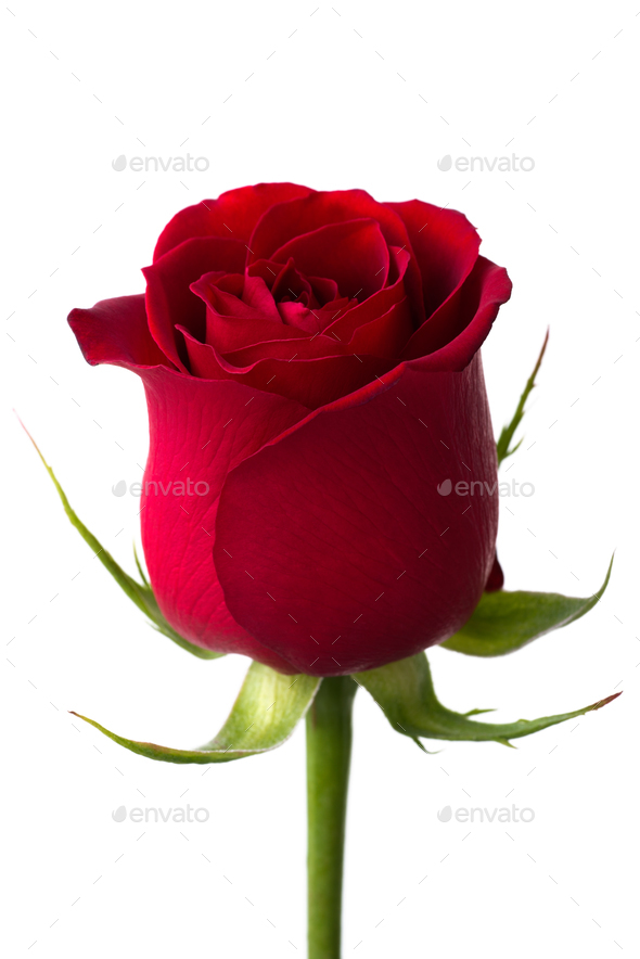 Red rose - Stock Photo - Images