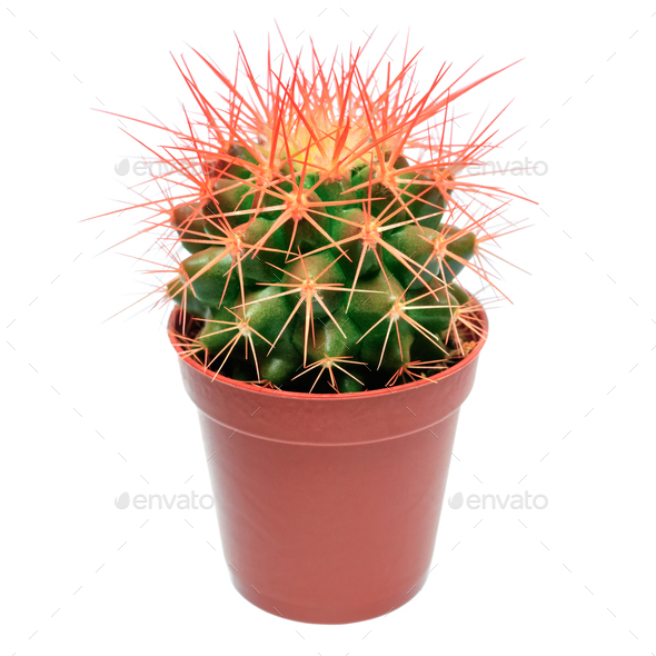 Orange cactus in flowerpot - Stock Photo - Images