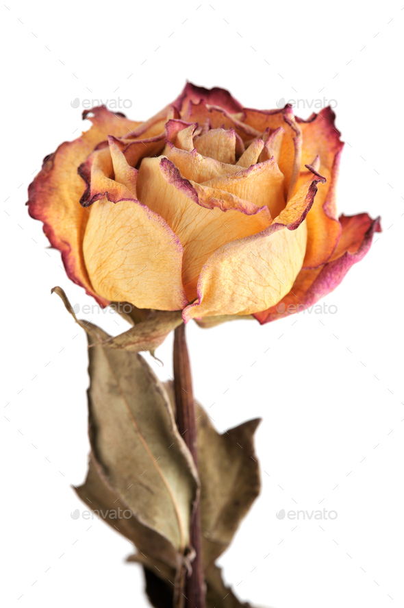 Dry rose - Stock Photo - Images
