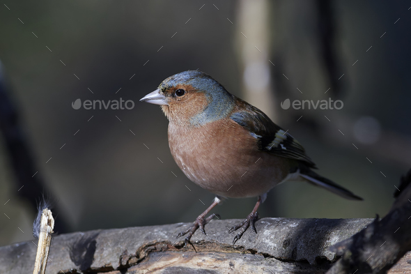 Common chaffinch (Fringilla coelebs) - Stock Photo - Images