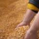 Agricultural Maize Corn Grains