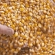 Farmer Hands Showing Freshly Harvested Corn Grains. Agriculture, Corn Harvesting