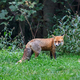 european red fox (vulpes vulpes) - PhotoDune Item for Sale