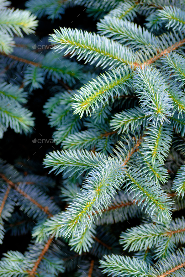 Fir branches background - Stock Photo - Images