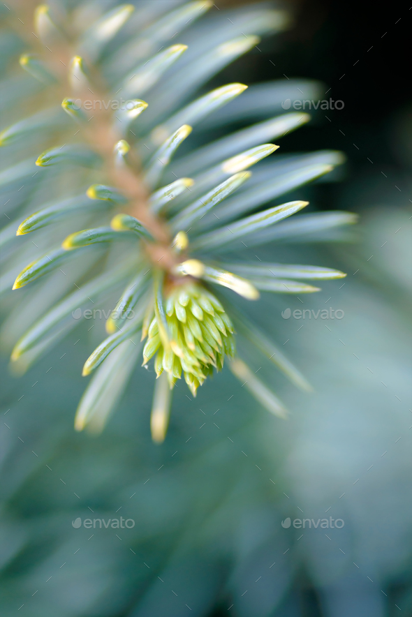 Tip of the fir tree branch - Stock Photo - Images