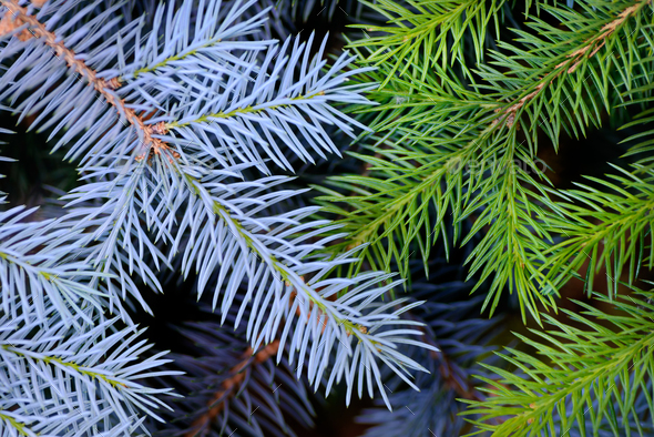 Two fir branches background - Stock Photo - Images