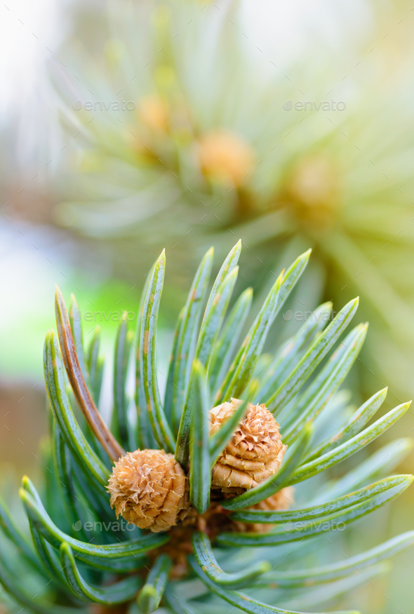 Fresh pine tree sprout - Stock Photo - Images