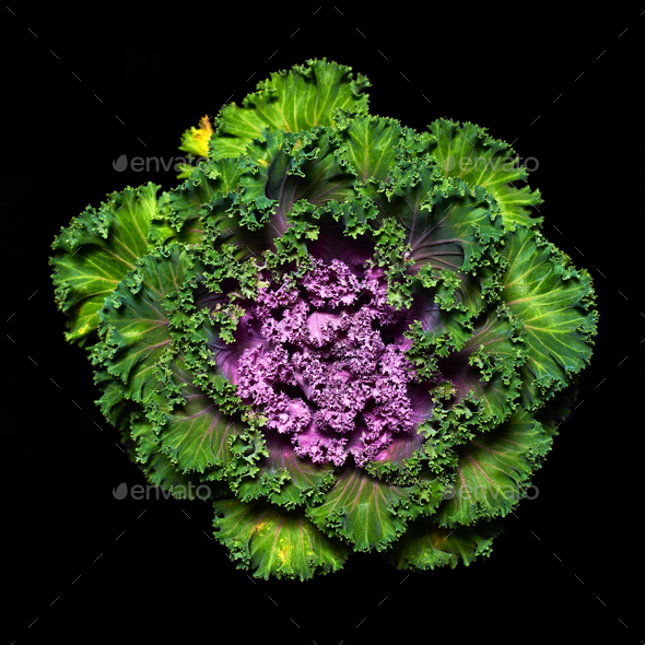 Ornamental kale - Stock Photo - Images