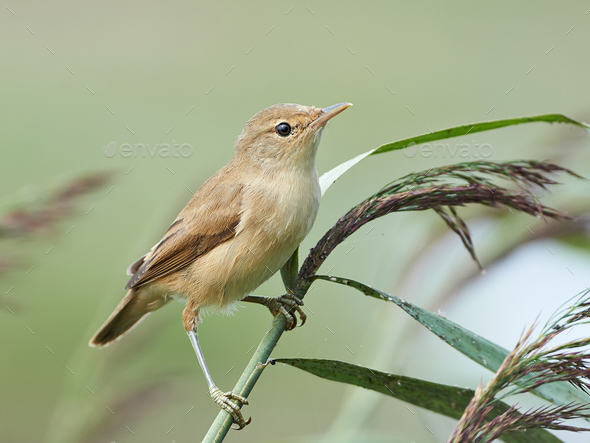 Eurasian reed warbler (Acrocephalus scirpaceus) - Stock Photo - Images
