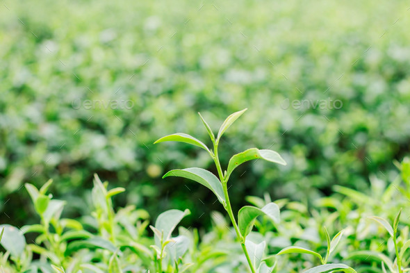 Green tea leaves of nature - Stock Photo - Images