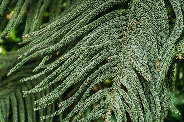 Araucaria Heterophylla In Botanical Garden - Stock Photo - Images