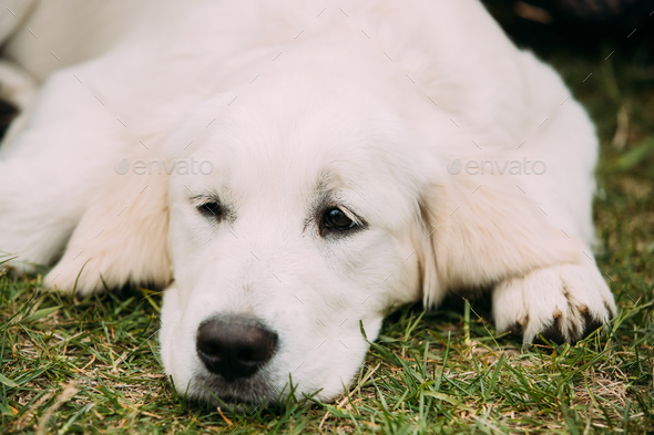 Close View Of Beautiful White Dog Labrador Puppy Whelp Lying In - Stock Photo - Images