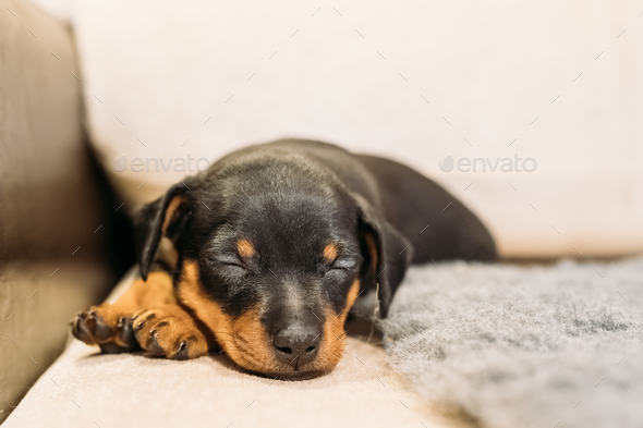 Small Black Miniature Pinscher Zwergpinscher, Min Pin Puppy Dog - Stock Photo - Images