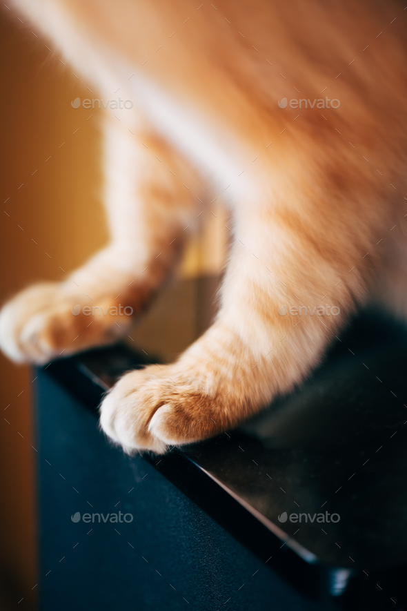Close Up Paw Pads Of  Red Cat Kitten - Stock Photo - Images