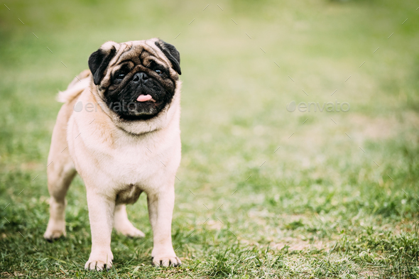 Young Pug Or Mops Standing In Green Grass - Stock Photo - Images