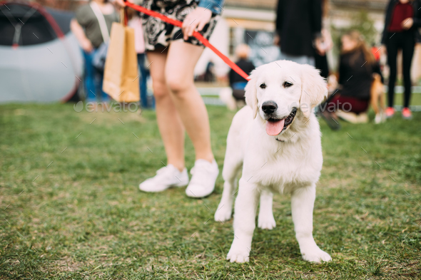 Beautiful White Dog Labrador Puppy Whelp Standing Near Woman In - Stock Photo - Images