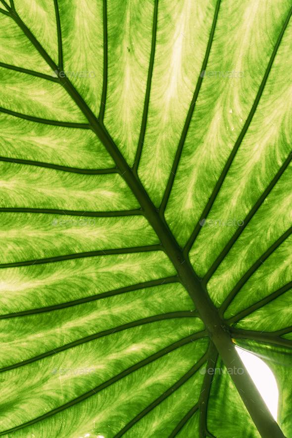 Green Leaves Of Alocasia Macrorrhizos In Botanical Garden - Stock Photo - Images