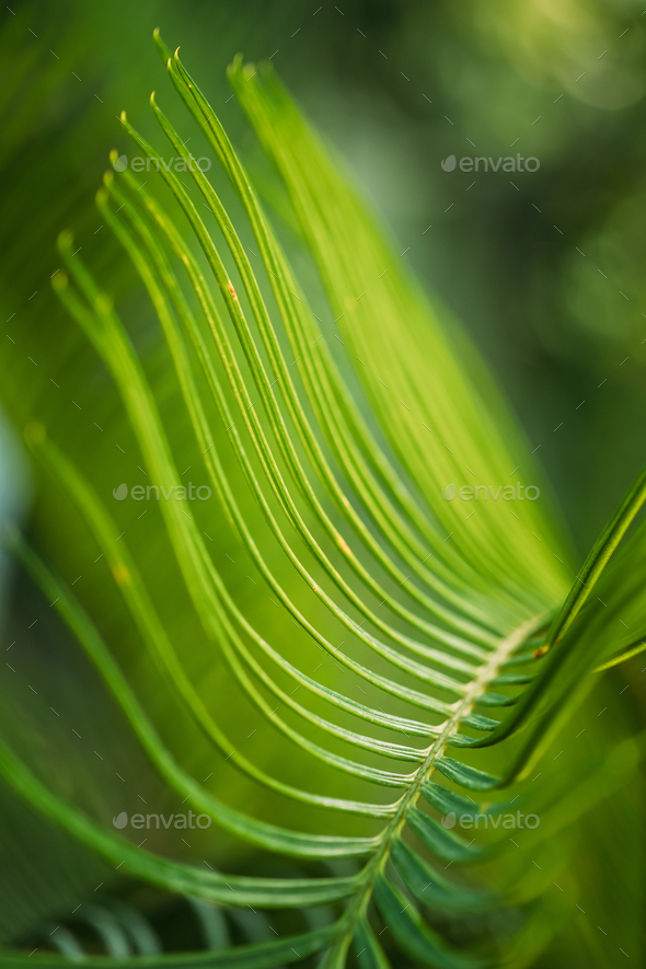 Green Leaves Of Cycas Revoluta In Botanical Garden - Stock Photo - Images