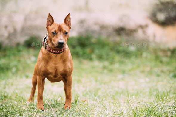 Red Brown Miniature Pinscher Pincher Min Pin Zwergpinscher Dog S - Stock Photo - Images