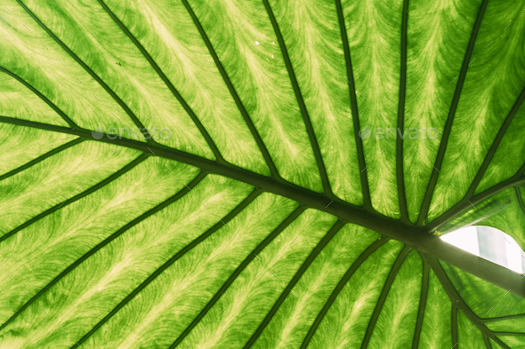 Green Leaves Of Alocasia Macrorrhizos In Botanical Garden - Stock Photo - Images