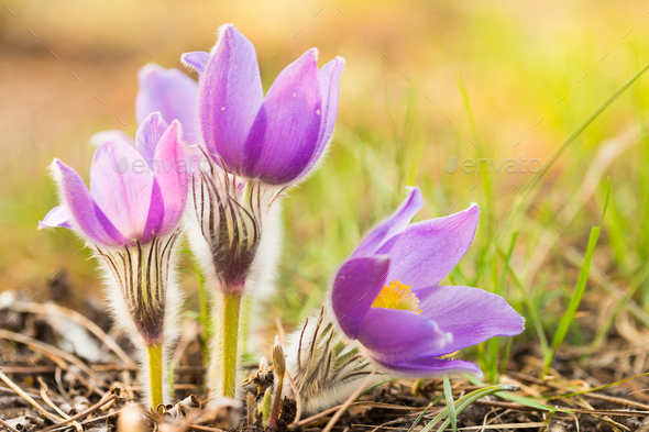 Wild Young Pasqueflower In Early Spring.  Flowers Pulsatilla Pat - Stock Photo - Images