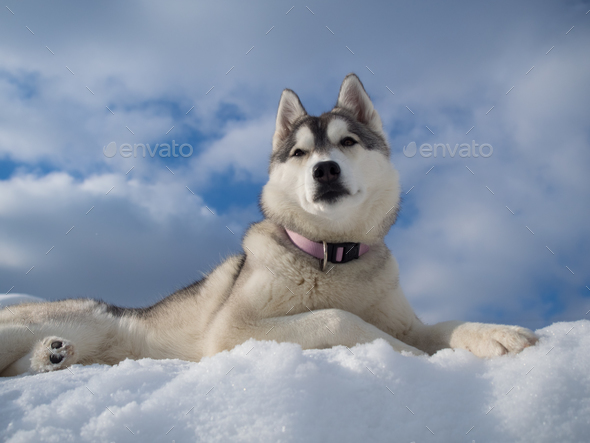 Portrait of a beautiful Husky dog - Stock Photo - Images
