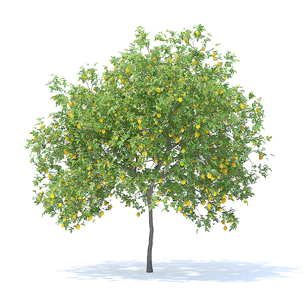 Lemon Tree with Fruits 3D Model 4.4m - 3DOcean Item for Sale