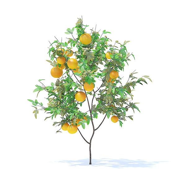 Orange Tree with Fruits 3D Model 1.6m - 3DOcean Item for Sale