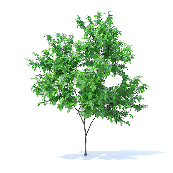 Orange Tree 3D Model 2.1m - 3DOcean Item for Sale