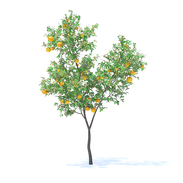 Orange Tree with Fruits 3D Model 3.4m - 3DOcean Item for Sale