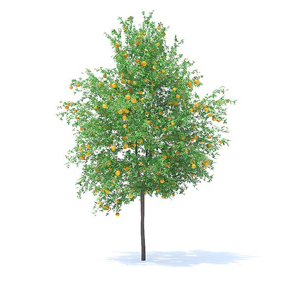 Orange Tree with Fruits 3D Model 6m - 3DOcean Item for Sale