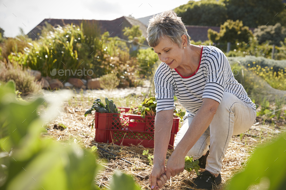 Mature Woman Harvesting Beetroot On Community Allotment - Stock Photo - Images