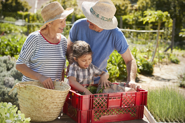 Grandparents With Granddaughter Working On Allotment Together - Stock Photo - Images